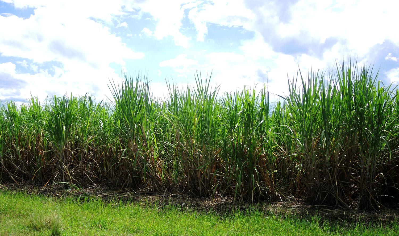 Zuckerrohrfeld in Kuba