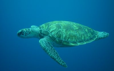 Siamesiche Schildkröten auf Cayo Largo geboren