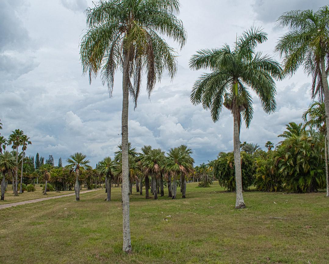 Kubanews: Kubanische Palmen