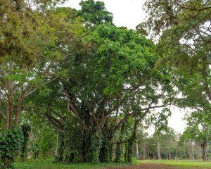 Kubanews: Ein riesiger Ficus findet sich auf dem Gelände.