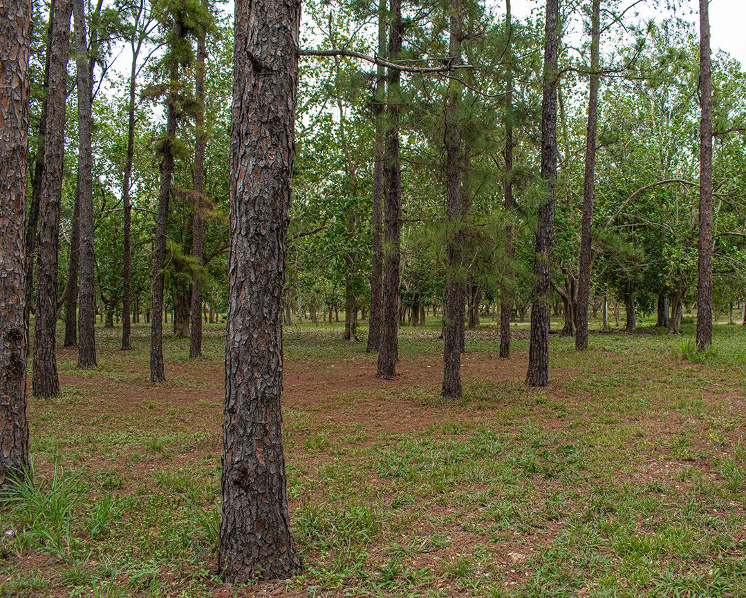 Kubanews: Typischer kubanischer Kiefernwald