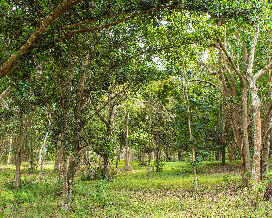 Kubanews: Waldgesellschaft in Kuba
